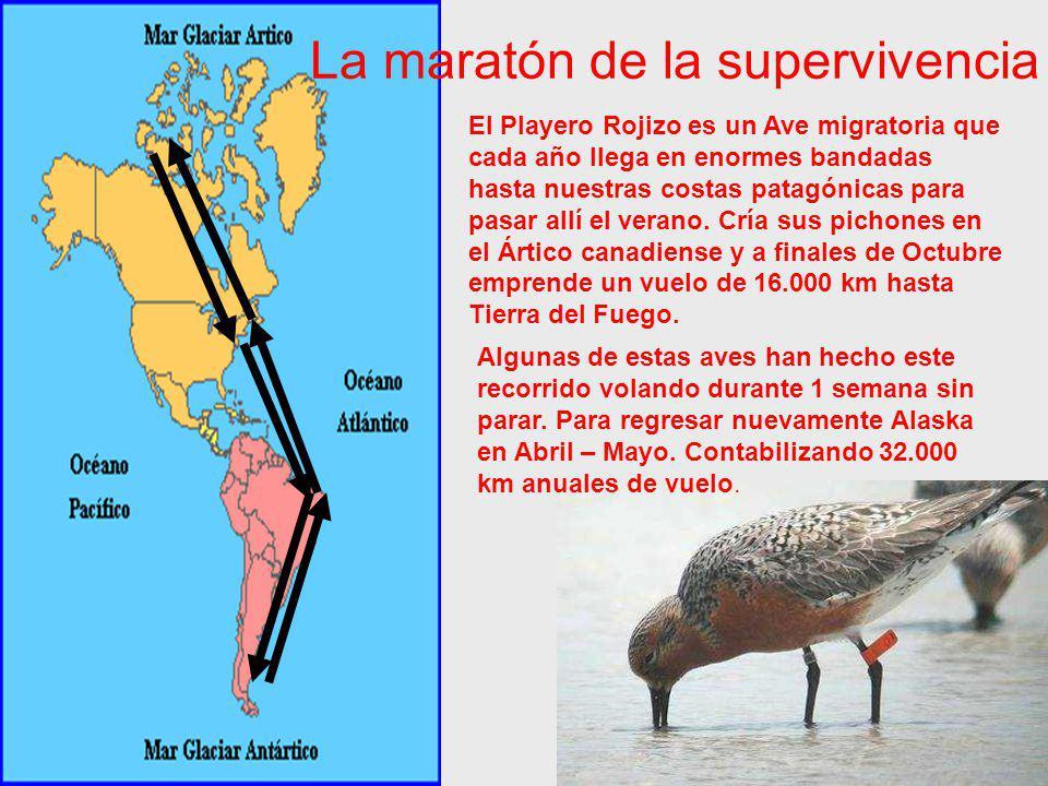 Grupo Eco Huellas Colegio Domingo Savio Experiencia de aprendizaje en servicio: Campaña de anillado y toma de datos científicos de la especie Calidris