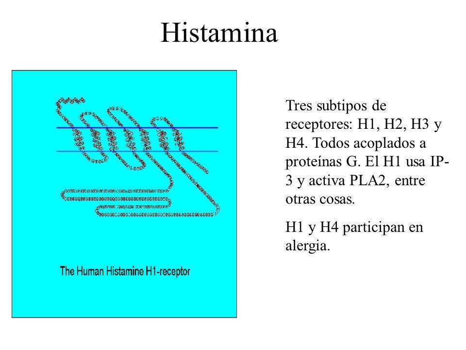 Histamina Tres subtipos de receptores: H1, H2, H3 y H4. Todos acoplados a proteínas G. El H1 usa IP- 3 y activa PLA2, entre otras cosas. H1 y H4 parti