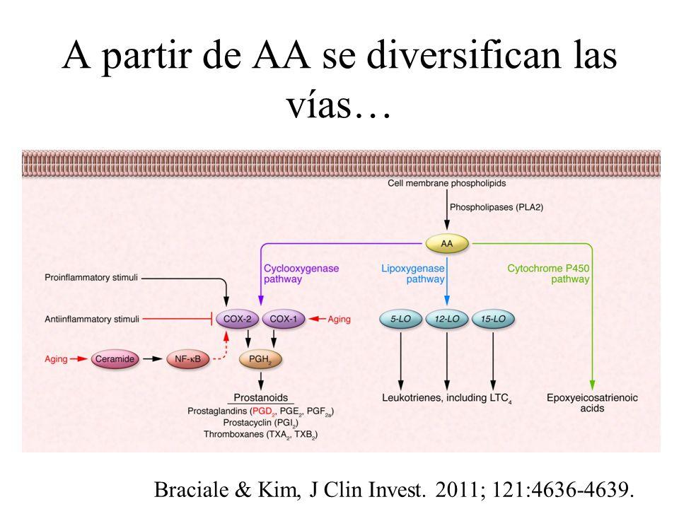 A partir de AA se diversifican las vías… Braciale & Kim, J Clin Invest. 2011; 121:4636-4639.