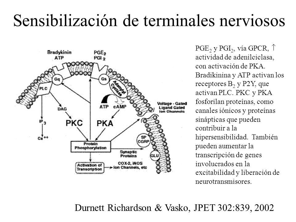 Sensibilización de terminales nerviosos PGE 2 y PGI 2, vía GPCR, actividad de adenilciclasa, con activación de PKA. Bradikinina y ATP activan los rece