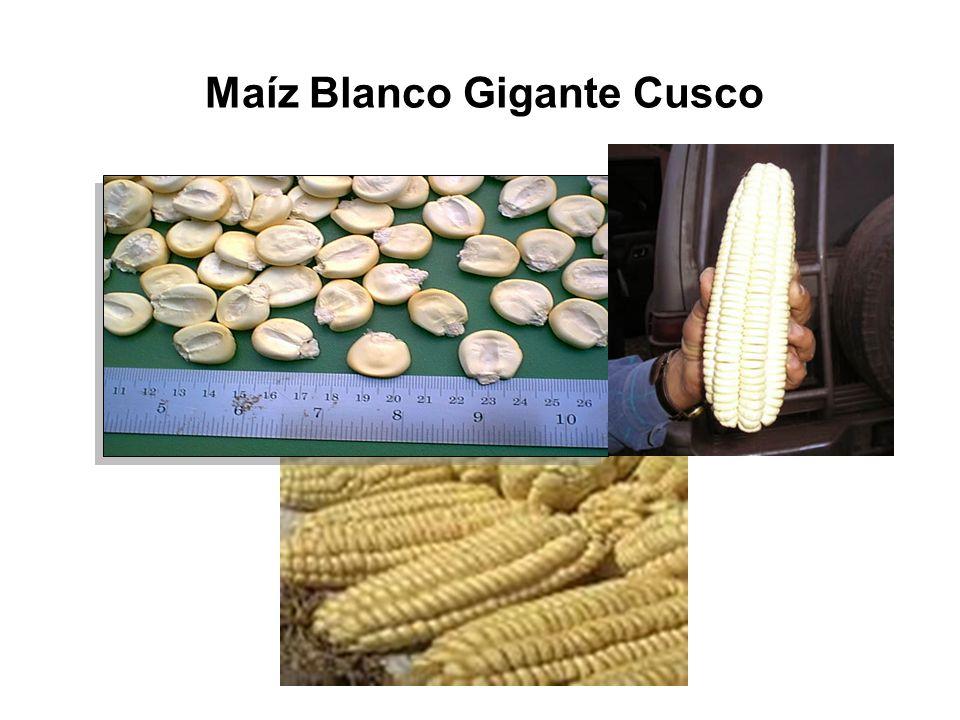 Maíz Blanco Gigante Cusco
