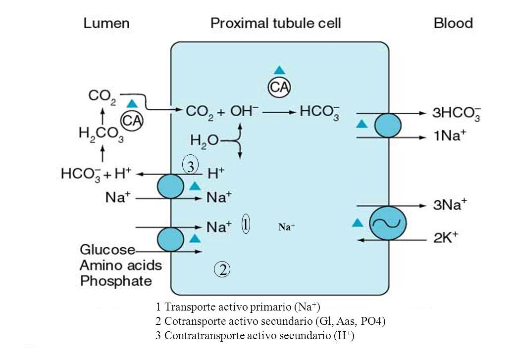 Na + 1 2 3 1 Transporte activo primario (Na + ) 2 Cotransporte activo secundario (Gl, Aas, PO4) 3 Contratransporte activo secundario (H + )