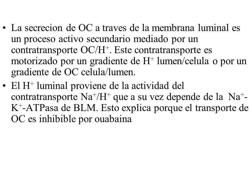 La secrecion de OC a traves de la membrana luminal es un proceso activo secundario mediado por un contratransporte OC/H +. Este contratransporte es mo