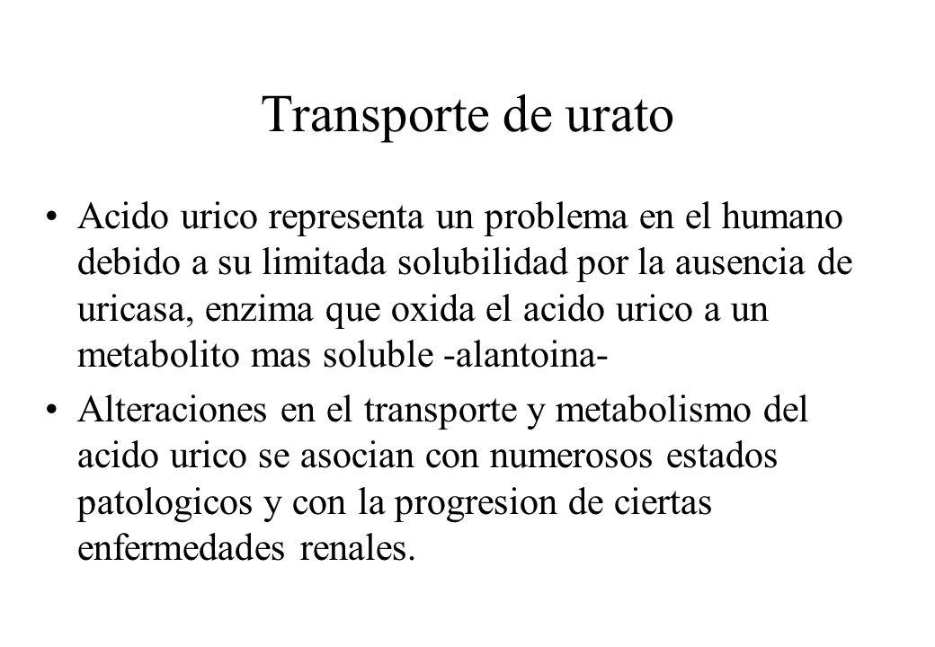 Transporte de urato Acido urico representa un problema en el humano debido a su limitada solubilidad por la ausencia de uricasa, enzima que oxida el a