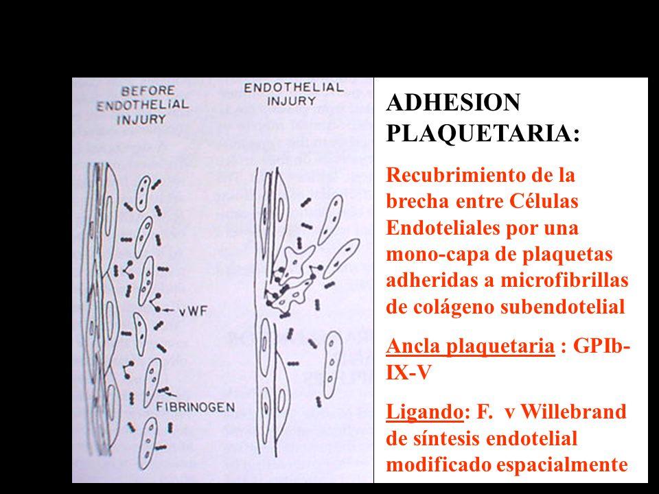 ADHESION PLAQUETARIA: Recubrimiento de la brecha entre Células Endoteliales por una mono-capa de plaquetas adheridas a microfibrillas de colágeno sube