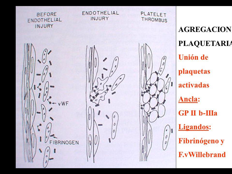 AGREGACION PLAQUETARIA Unión de plaquetas activadas Ancla: GP II b-IIIa Ligandos: Fibrinógeno y F.vWillebrand