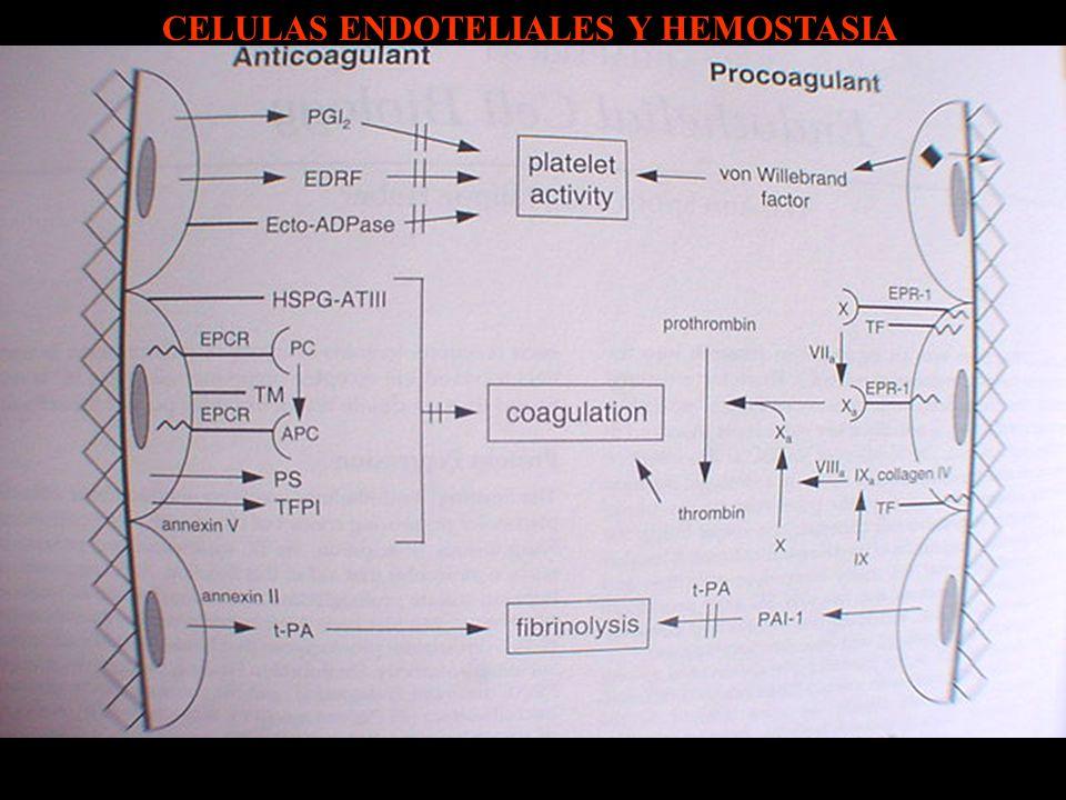 CELULAS ENDOTELIALES Y HEMOSTASIA