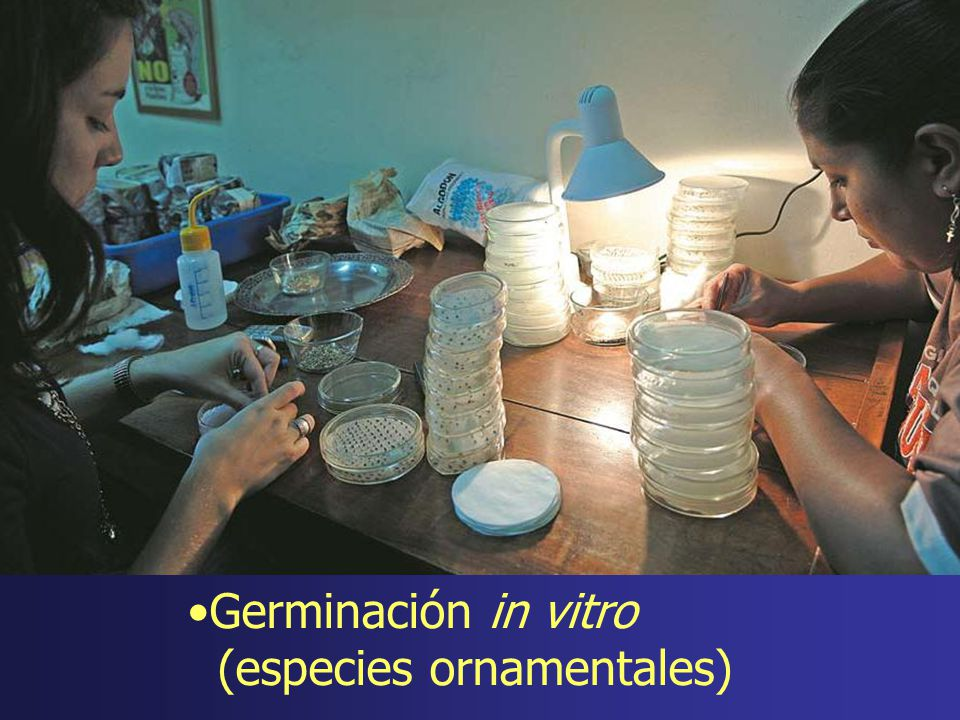 Germinación in vitro (especies ornamentales)