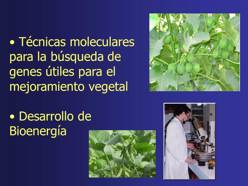 Técnicas moleculares para la búsqueda de genes útiles para el mejoramiento vegetal Desarrollo de Bioenergía