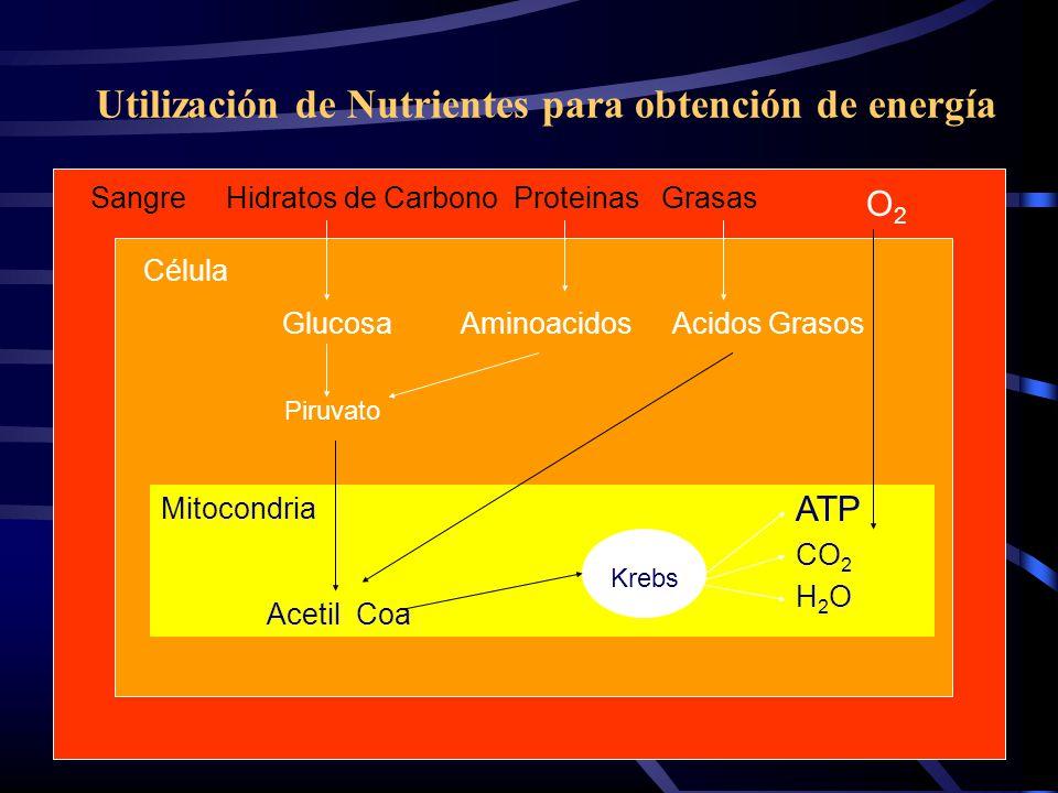Utilización de Nutrientes para obtención de energía Sangre Hidratos de Carbono Proteinas Grasas Célula GlucosaAminoacidosAcidos Grasos Mitocondria Ace