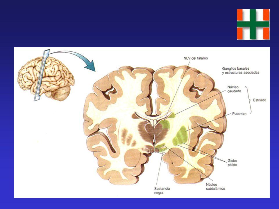 Áreas Motoras Cerebrales APM: Área 6 de Brodmann; se activa 120-240 mseg. antes del movimiento; seis veces más grande que MI. Interviene en la program