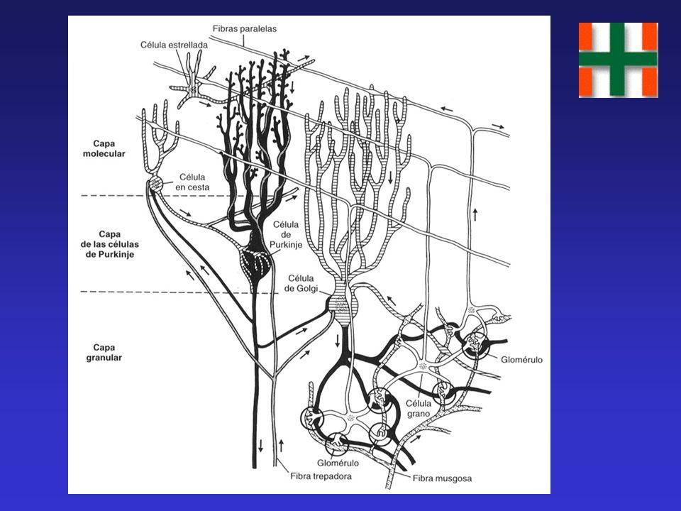 Procesos Cognitivos del Cerebelo El cerebelo actúa en el aprendizaje cognitivo de la misma manera que en el motor: actúa como detector de errores. De