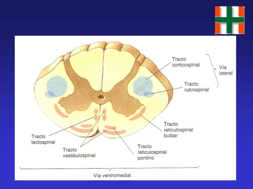 Jerarquía del Sistema Motor Central Estrategia: Neocorteza Ganglios basales Táctica: Corteza motora Cerebelo Ejecución: Tronco Cerebral Médula Espinal