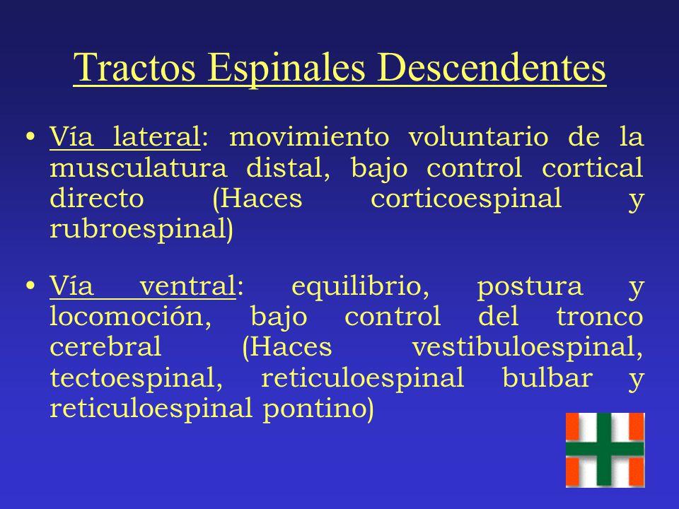 Tractos Espinales Descendentes Vía lateral: movimiento voluntario de la musculatura distal, bajo control cortical directo (Haces corticoespinal y rubroespinal) Vía ventral: equilibrio, postura y locomoción, bajo control del tronco cerebral (Haces vestibuloespinal, tectoespinal, reticuloespinal bulbar y reticuloespinal pontino)