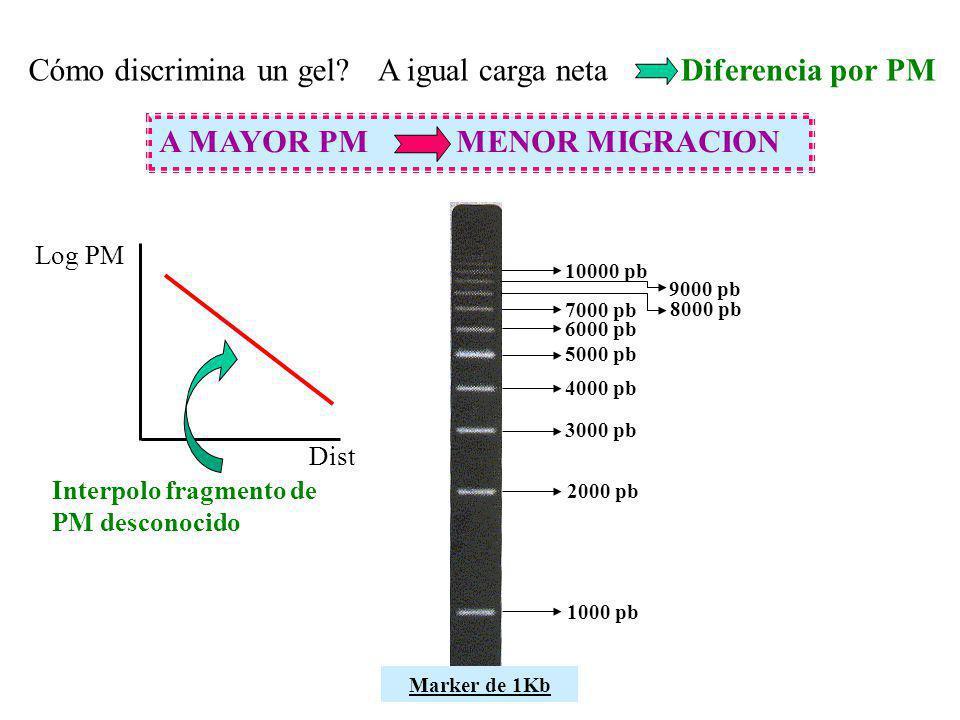Cómo discrimina un gel?A igual carga neta Diferencia por PM A MAYOR PM MENOR MIGRACION Log PM Dist 1000 pb 2000 pb 3000 pb 4000 pb 5000 pb 6000 pb 700