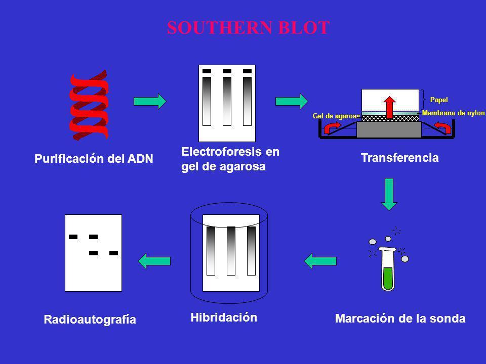 Purificación del ADN Electroforesis en gel de agarosa Transferencia Marcación de la sonda Hibridación Radioautografía Papel Membrana de nylon Gel de a