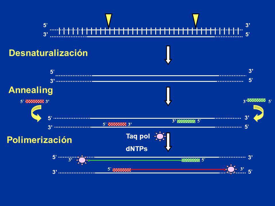 5 35 3 Desnaturalización 5 3 5 3 5 3 5 3 Polimerización Taq pol dNTPs 35 53 Annealing 5353 53 53 5 3 5 3