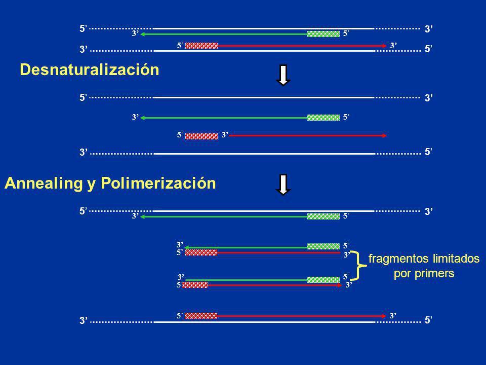53 53 5 3 5 3 Desnaturalización 53 53 3 5 5 3 5 3 3 5 5 3 53 53 3 53 5 3 5 Annealing y Polimerización fragmentos limitados por primers