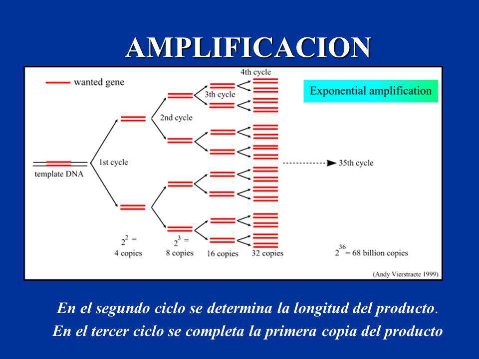 AMPLIFICACION En el segundo ciclo se determina la longitud del producto. En el tercer ciclo se completa la primera copia del producto