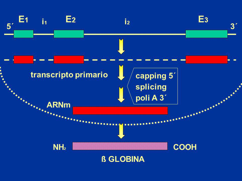 : 14Kb - 3.7 :10,3Kb 2 1 2 1 ELECTROFORESIS AUTORRADIOGRAFIA 23,13 Kb 9,41 Kb 6,56 Kb 4,36 Kb 2,32 Kb 2,03 Kb 14,0 Kb 10,3 Kb Análisis mediante Southern blot de deleciones en los genes de -globina Enzima de restricción: BamH I