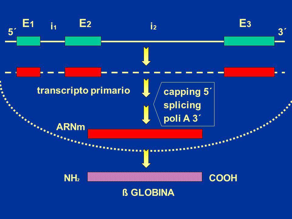 NH 2 COOH E1E1 E2E2 E3E3 i1i1 i2i2 ARNm ß GLOBINA transcripto primario 5´3´ capping 5´ splicing poli A 3´