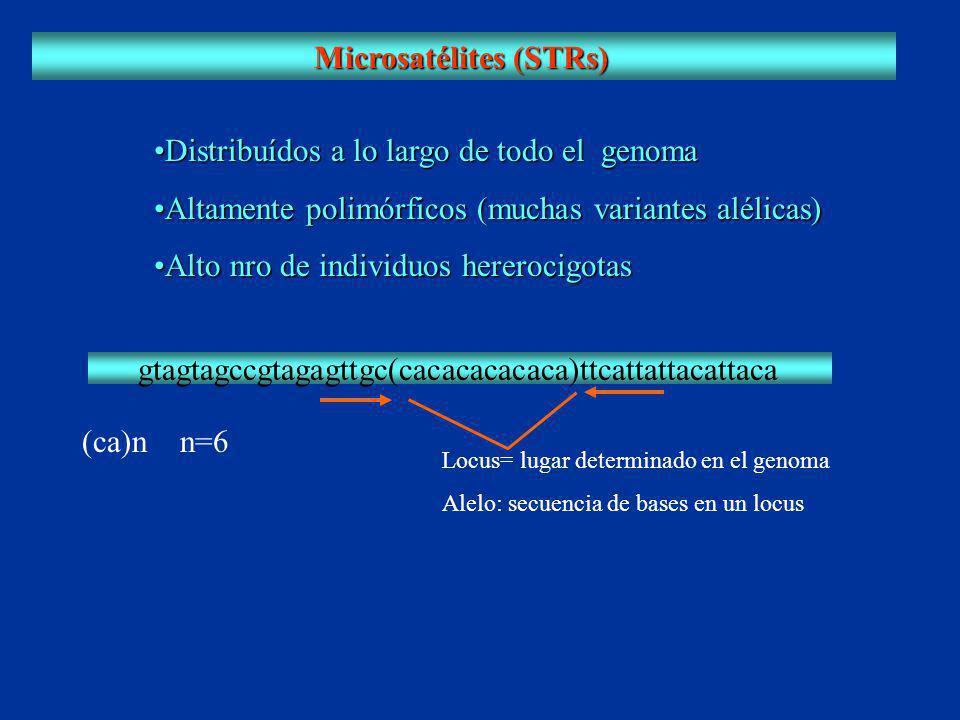 Microsatélites (STRs) Microsatélites (STRs) Distribuídos a lo largo de todo el genomaDistribuídos a lo largo de todo el genoma Altamente polimórficos