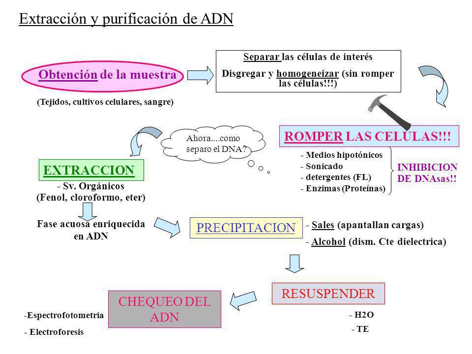 Ahora....como separo el DNA? (Tejidos, cultivos celulares, sangre) Obtención de la muestra PRECIPITACION - Sales (apantallan cargas) - Alcohol (dism.