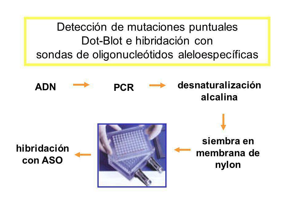 Detección de mutaciones puntuales Dot-Blot e hibridación con sondas de oligonucleótidos aleloespecíficas ADN PCR desnaturalización alcalina siembra en