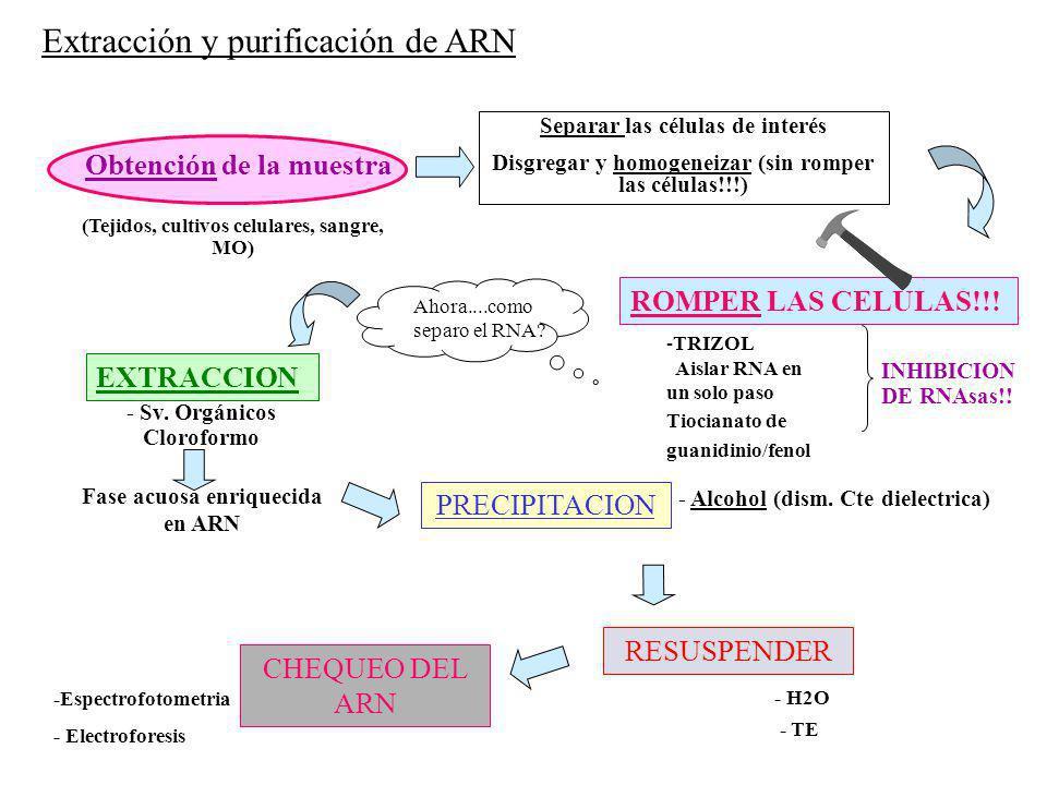 Ahora....como separo el RNA? (Tejidos, cultivos celulares, sangre, MO) Obtención de la muestra PRECIPITACION - Alcohol (dism. Cte dielectrica) RESUSPE