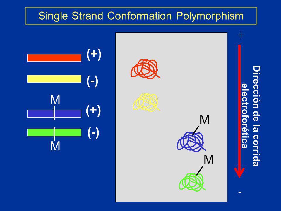 Dirección de la corrida electroforética + - Single Strand Conformation Polymorphism (+) (-) M M M M