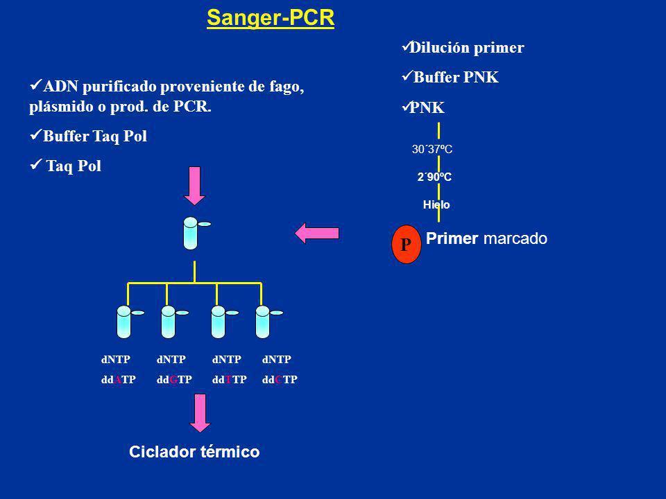 Sanger-PCR ADN purificado proveniente de fago, plásmido o prod. de PCR. Buffer Taq Pol Taq Pol dNTP ddATP dNTP ddGTP dNTP ddCTP dNTP ddTTP Dilución pr