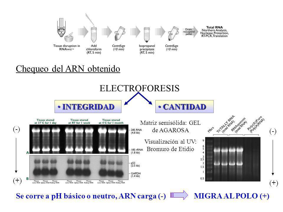 Chequeo del ARN obtenido ELECTROFORESIS INTEGRIDAD INTEGRIDAD CANTIDAD CANTIDAD Se corre a pH básico o neutro, ARN carga (-)MIGRA AL POLO (+) (-) (+)(