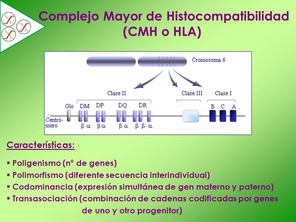 Complejo Mayor de Histocompatibilidad (CMH o HLA) Características: Poligenismo (nº de genes) Polimorfismo (diferente secuencia interindividual) Codomi