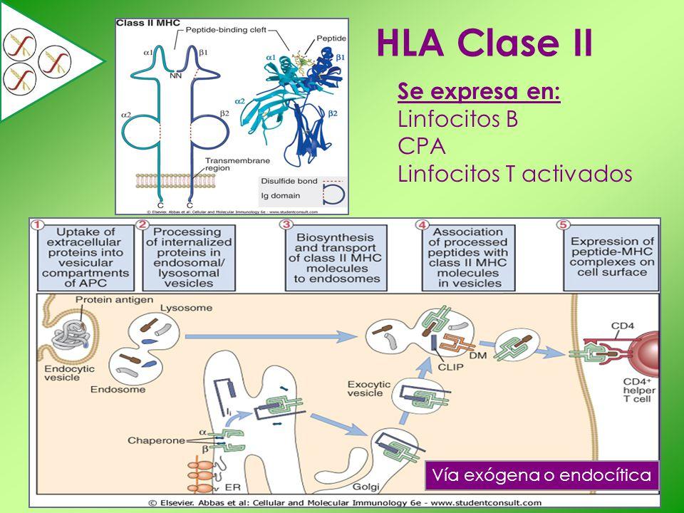 HLA Clase II Se expresa en: Linfocitos B CPA Linfocitos T activados Vía exógena o endocítica