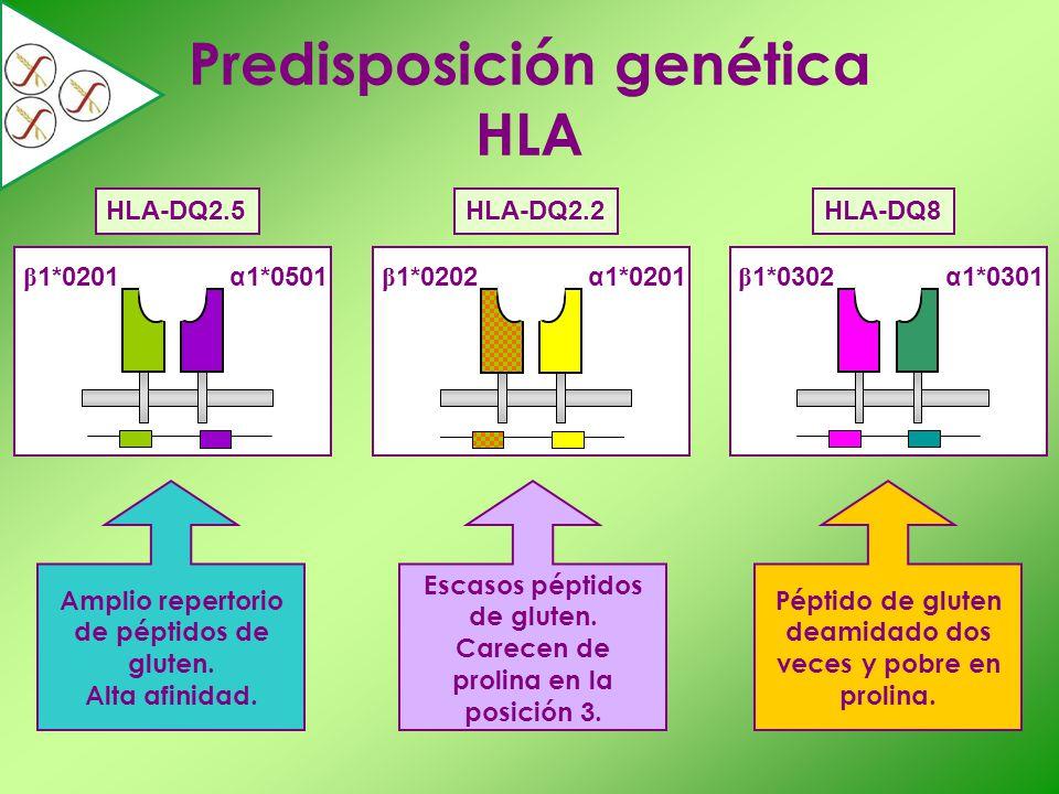 Amplio repertorio de péptidos de gluten. Alta afinidad. Escasos péptidos de gluten. Carecen de prolina en la posición 3. Péptido de gluten deamidado d