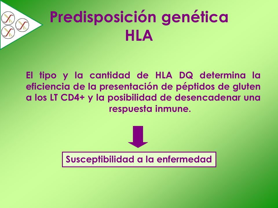 Predisposición genética HLA El tipo y la cantidad de HLA DQ determina la eficiencia de la presentación de péptidos de gluten a los LT CD4+ y la posibi