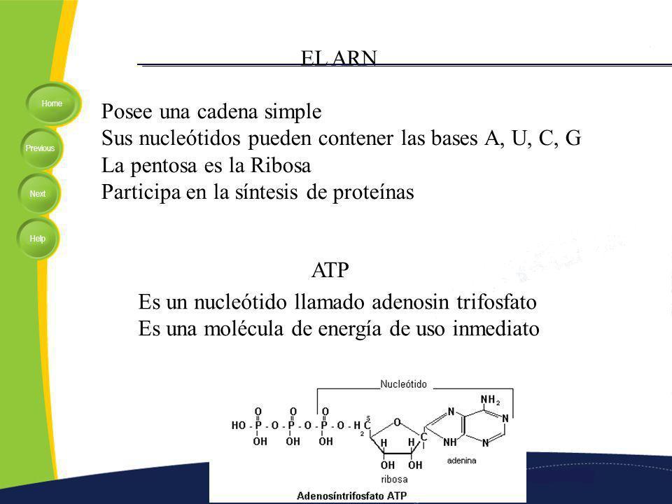 Home Previous Next Help EL ARN Posee una cadena simple Sus nucleótidos pueden contener las bases A, U, C, G La pentosa es la Ribosa Participa en la síntesis de proteínas ATP Es un nucleótido llamado adenosin trifosfato Es una molécula de energía de uso inmediato