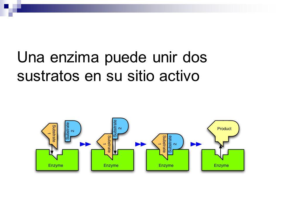 Una enzima puede unir dos sustratos en su sitio activo