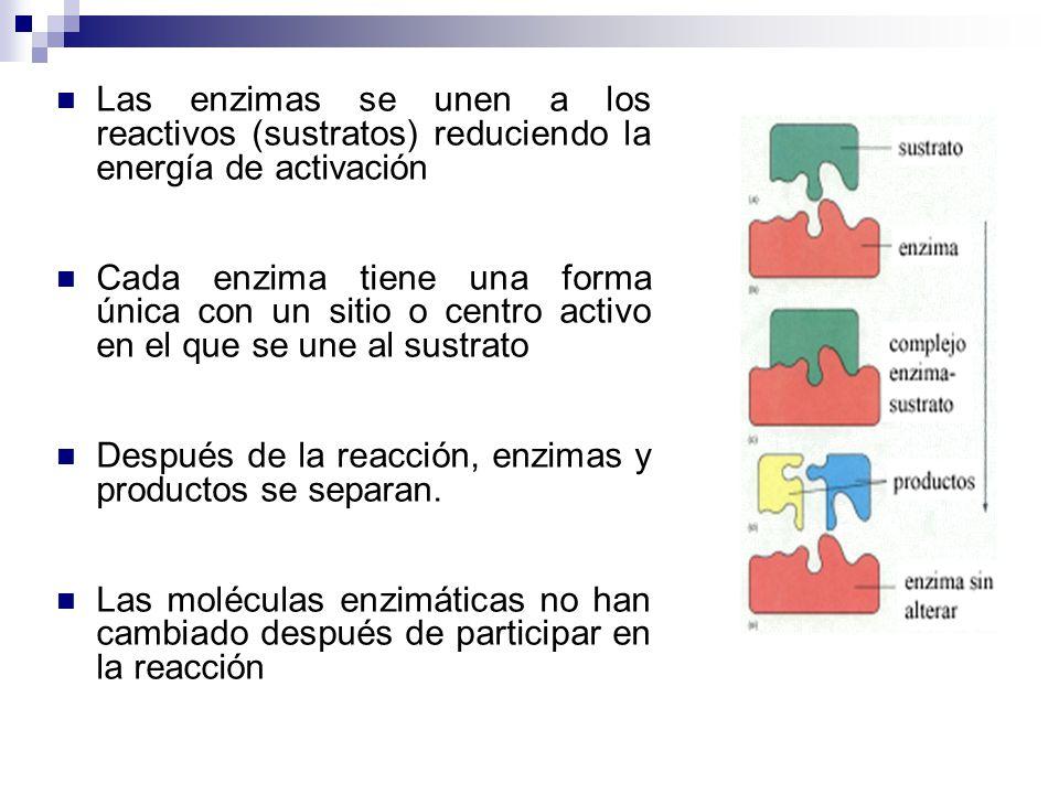 Las enzimas se unen a los reactivos (sustratos) reduciendo la energía de activación Cada enzima tiene una forma única con un sitio o centro activo en