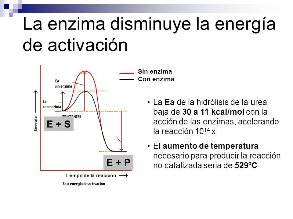 La enzima disminuye la energía de activación Tiempo de la reacción E + S E + P Sin enzima Con enzima La Ea de la hidrólisis de la urea baja de 30 a 11