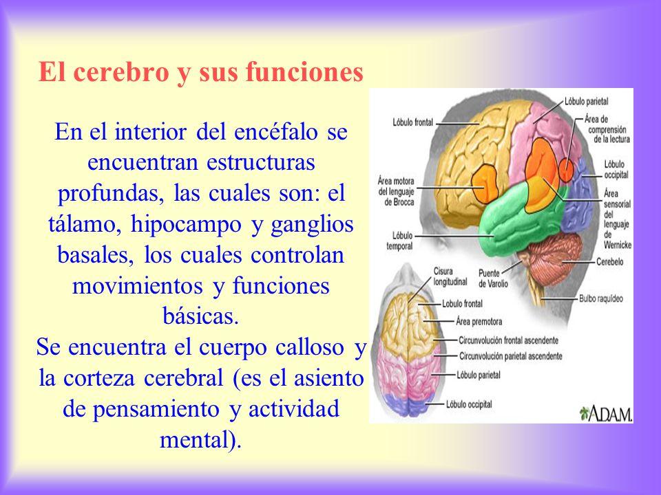 El cerebro y sus funciones El encéfalo (constituye casi 70 por ciento del peso del sistema nervioso y maneja el pensamiento, la memoria, el lenguaje y la emoción.