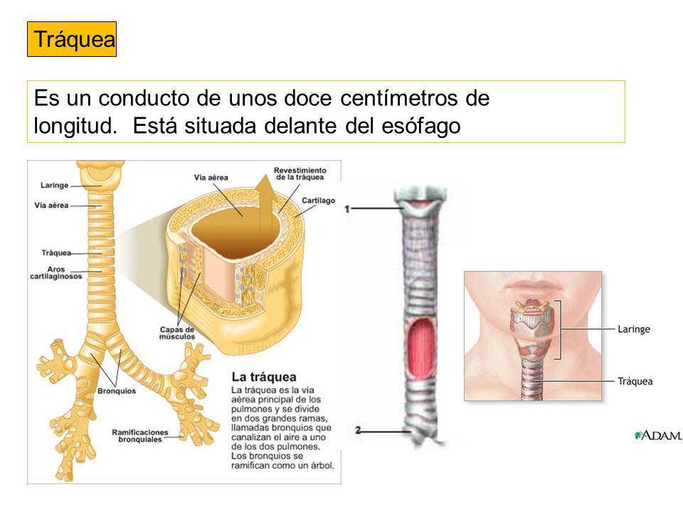 Tráquea Es un conducto de unos doce centímetros de longitud. Está situada delante del esófago