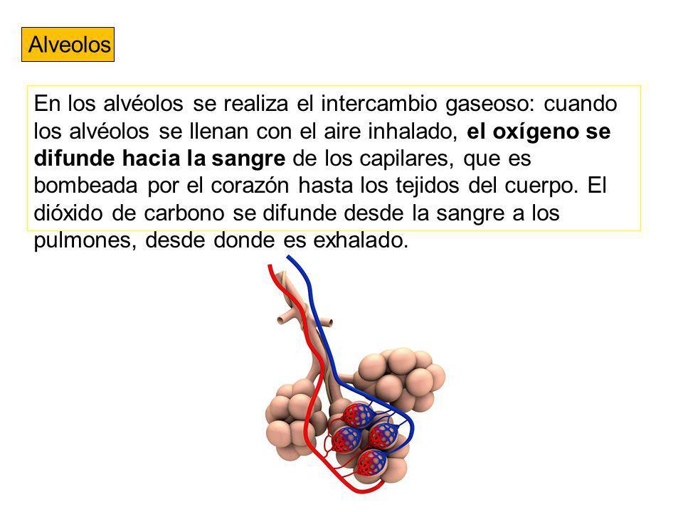 Alveolos En los alvéolos se realiza el intercambio gaseoso: cuando los alvéolos se llenan con el aire inhalado, el oxígeno se difunde hacia la sangre