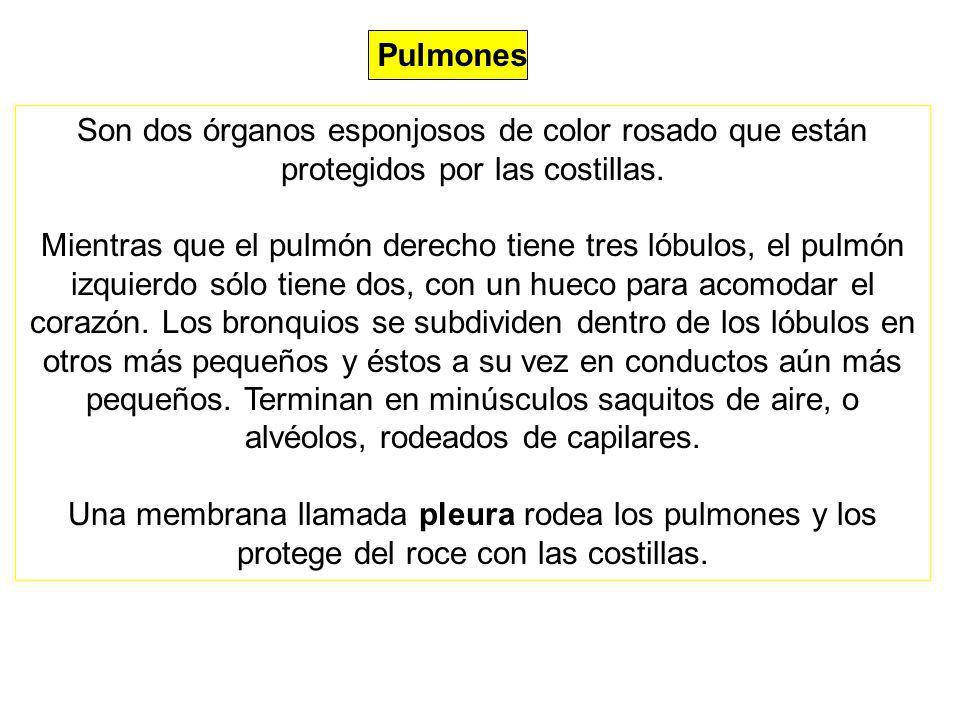 Pulmones Son dos órganos esponjosos de color rosado que están protegidos por las costillas. Mientras que el pulmón derecho tiene tres lóbulos, el pulm