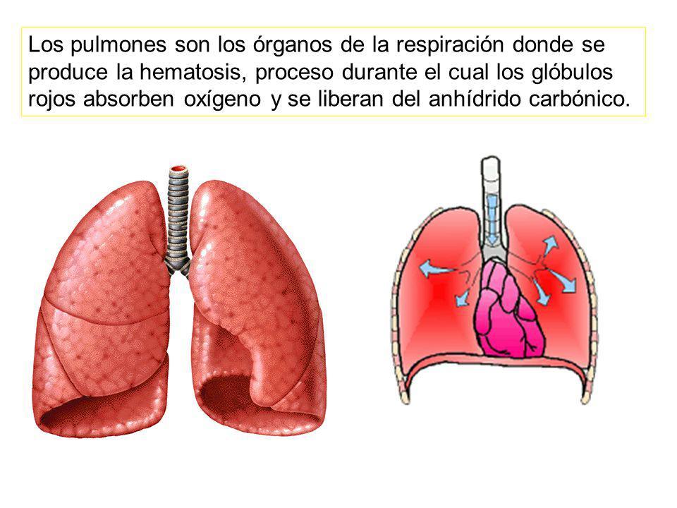 Los pulmones son los órganos de la respiración donde se produce la hematosis, proceso durante el cual los glóbulos rojos absorben oxígeno y se liberan