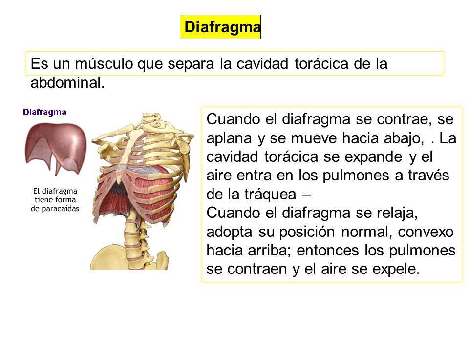 Diafragma Es un músculo que separa la cavidad torácica de la abdominal. Cuando el diafragma se contrae, se aplana y se mueve hacia abajo,. La cavidad