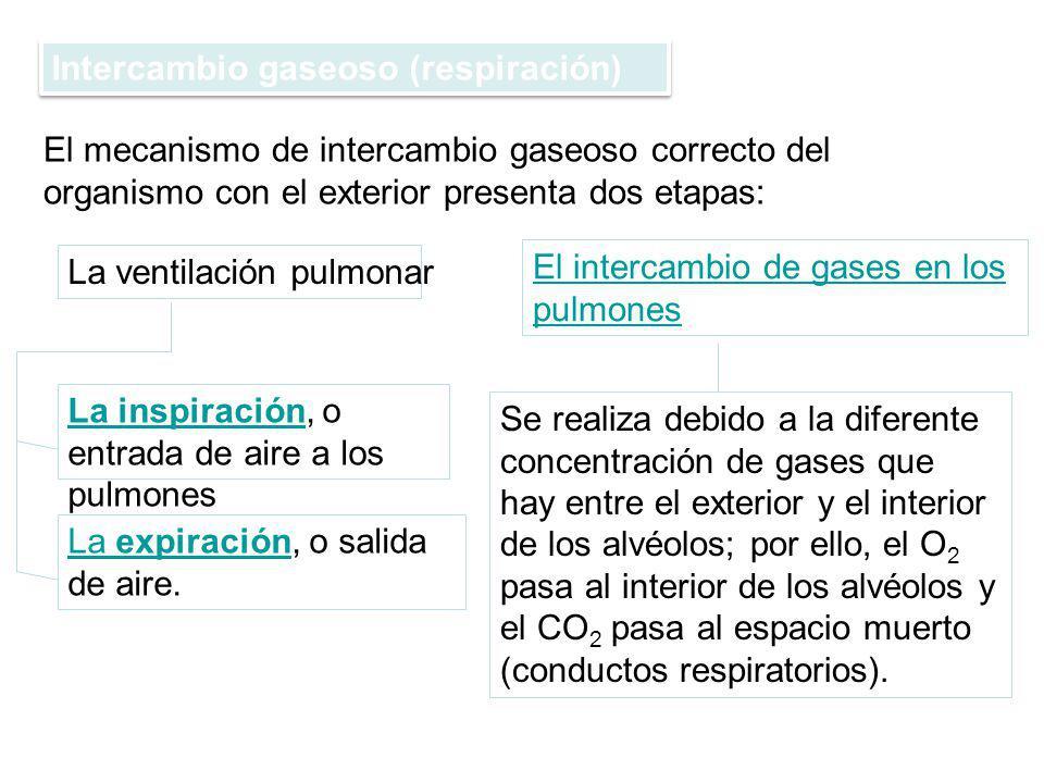 Intercambio gaseoso (respiración) El mecanismo de intercambio gaseoso correcto del organismo con el exterior presenta dos etapas: La ventilación pulmo