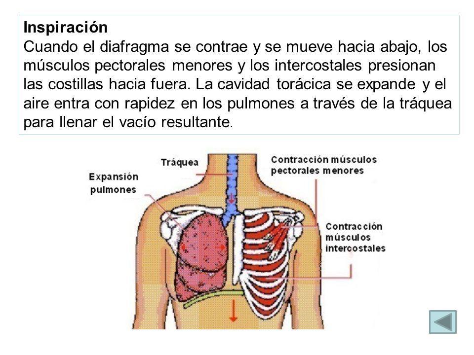 Inspiración Cuando el diafragma se contrae y se mueve hacia abajo, los músculos pectorales menores y los intercostales presionan las costillas hacia f