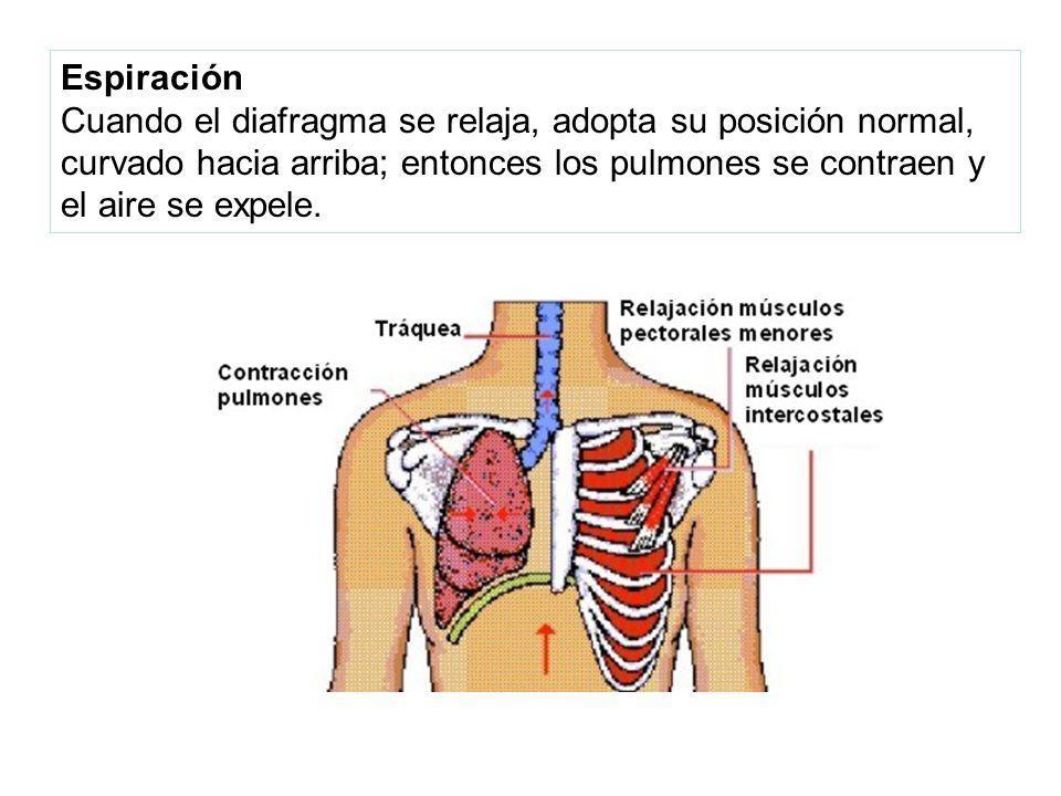 Espiración Cuando el diafragma se relaja, adopta su posición normal, curvado hacia arriba; entonces los pulmones se contraen y el aire se expele.