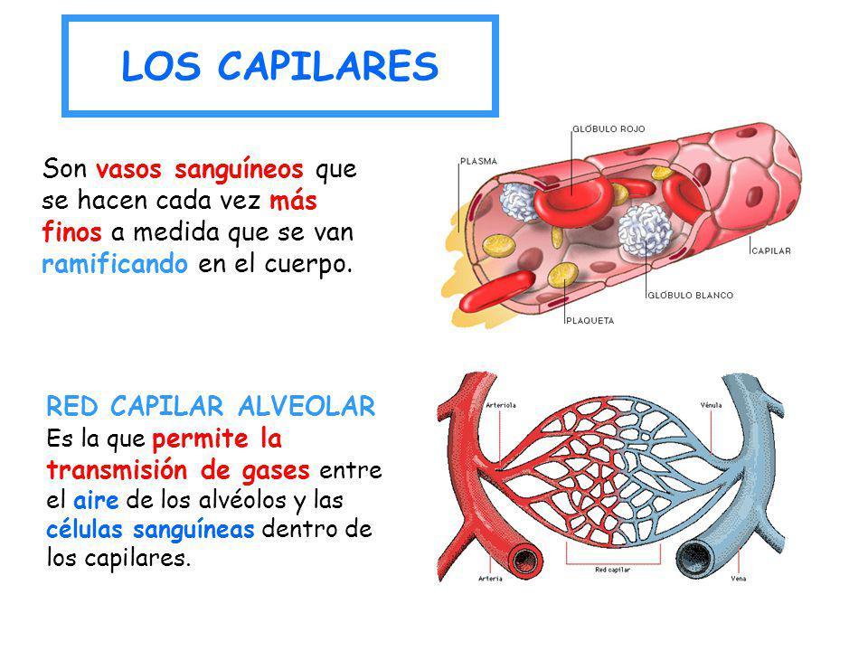 RED CAPILAR ALVEOLAR Es la que permite la transmisión de gases entre el aire de los alvéolos y las células sanguíneas dentro de los capilares. Son vas